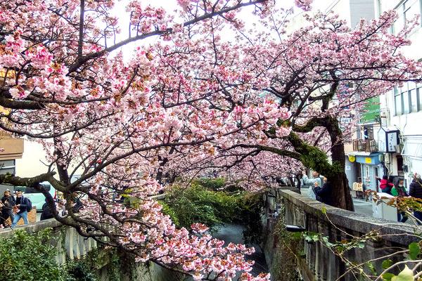 熱海桜2020-1