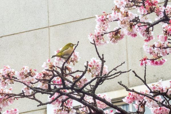熱海桜2020-2