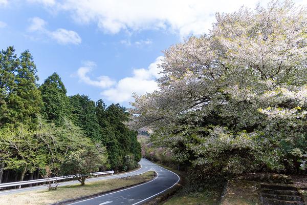 戸田峠のヤマザクラ2021
