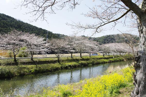 松崎町那賀川の桜2018