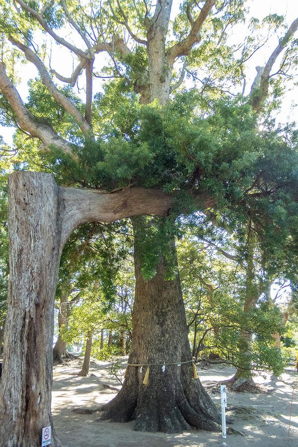 若宮神社の楠木