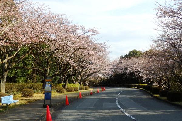 富士通沼津工場の桜2016-1