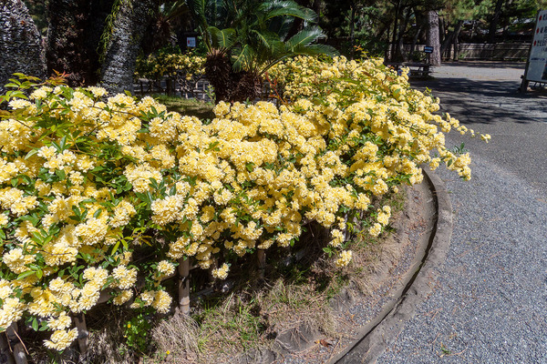 沼津御用邸記念公園のモッコウバラ2021