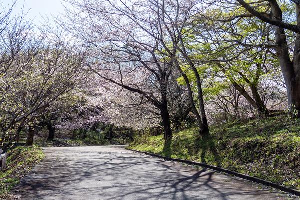 香貫山の桜2020-2
