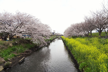 沼川の桜 2013