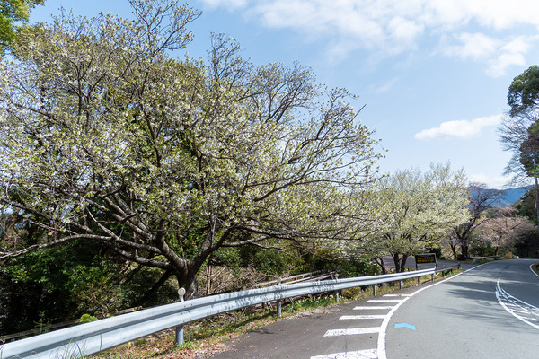 西伊豆の大島桜2021
