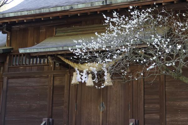 二宮神社の梅2