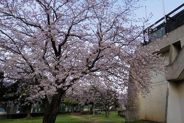 市営球場の桜1