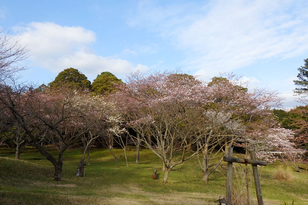富士通沼津工場の桜2016-2