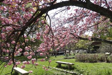大宮交通公園の桜
