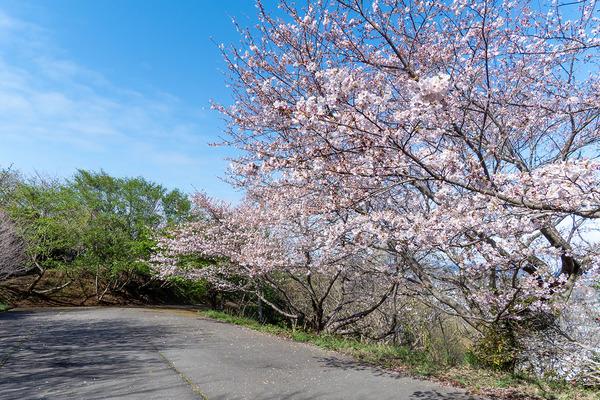 香貫山の桜2020-1