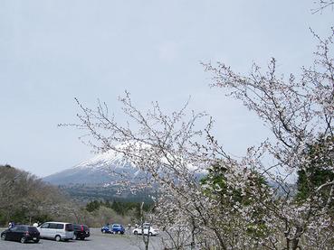 豆桜2010