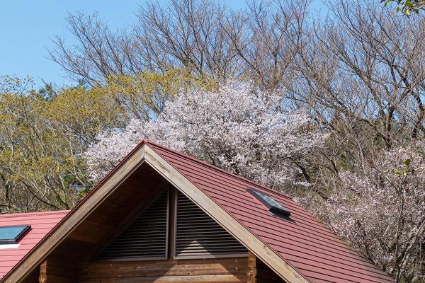 達磨山高原の豆桜2021