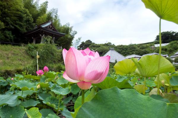 蓮興寺の蓮の花1