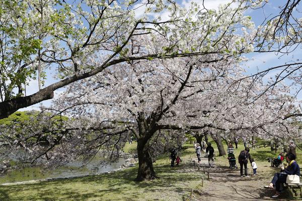 浜離宮の桜2017-1