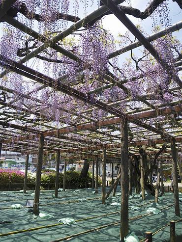 小田原城の藤2010