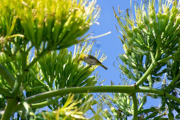 リュウゼツランの花とメジロ1
