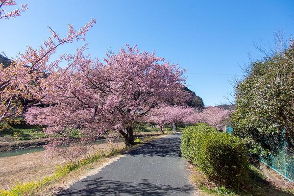青野川沿いの河津桜2021