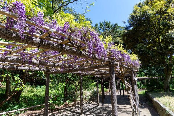 nishiizu202104_3沼津御用邸記念公園の藤棚2021-1