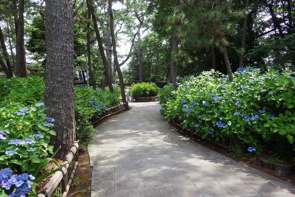 沼津御用邸記念公園のあじさい2017-3