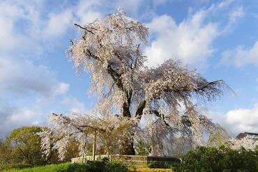 円山公園の枝垂れ桜2014
