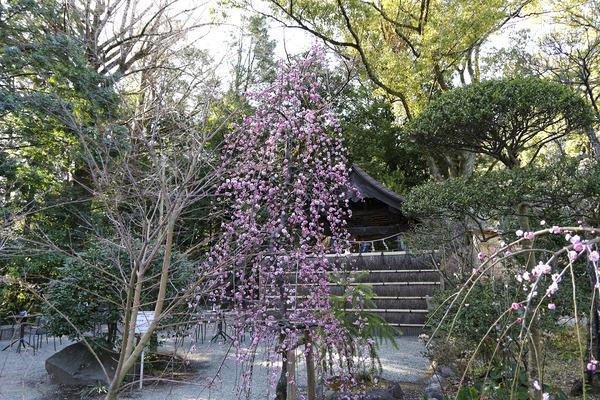 二宮神社の梅