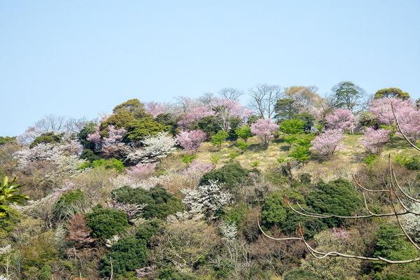 香貫山の大漁桜2021-1