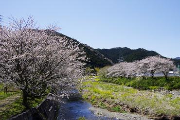 松崎 桜2012