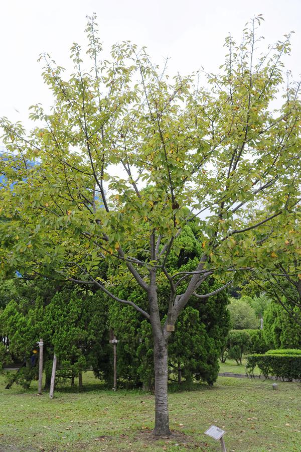 台北の修善寺寒桜
