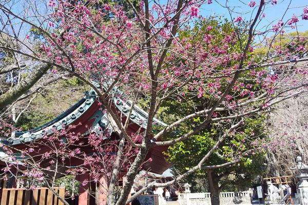 伊豆山神社の桜2019-2