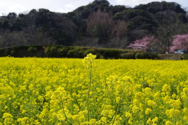 南伊豆町の菜の花2016
