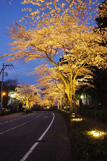 秩父宮記念公園の桜2