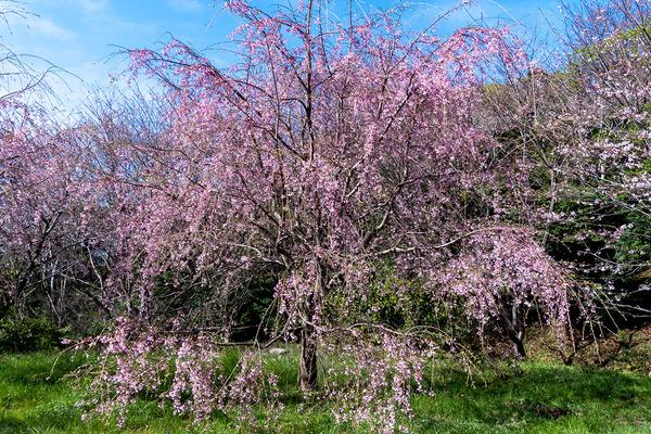 香貫山の三春滝桜2020-1