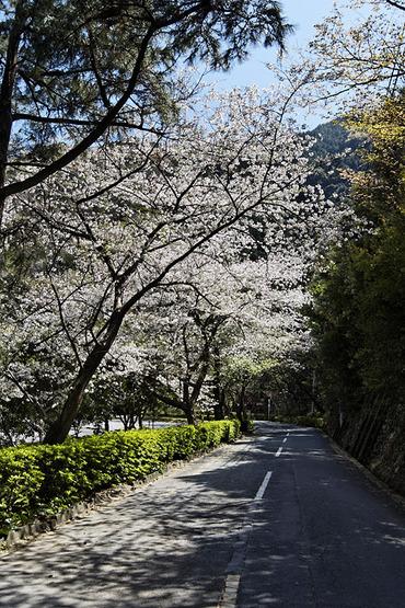 小金崎 桜2012
