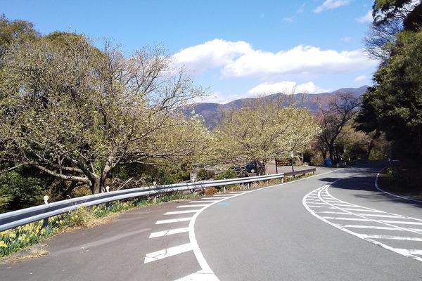 大島桜2019-1
