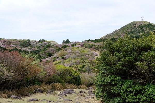金冠山の桜2017-1