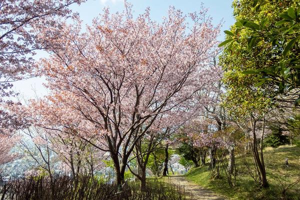 香貫山の大漁桜2021-3
