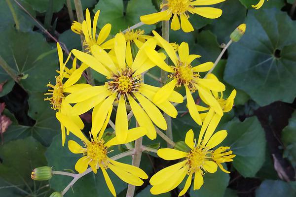 ツワブキの花2