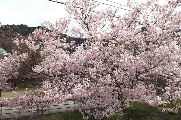 玉澤の桜2017-4