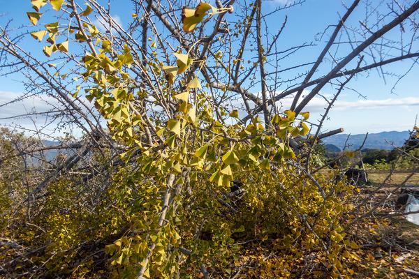 発端丈山の銀杏の木-2