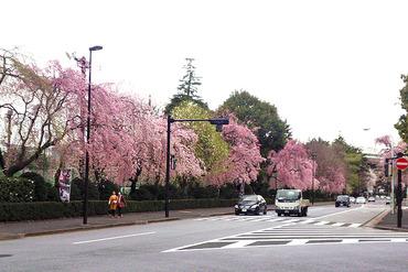 外苑の桜2014