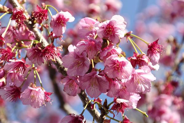 土肥桜2019-2