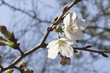 御用邸記念公園の桜2013