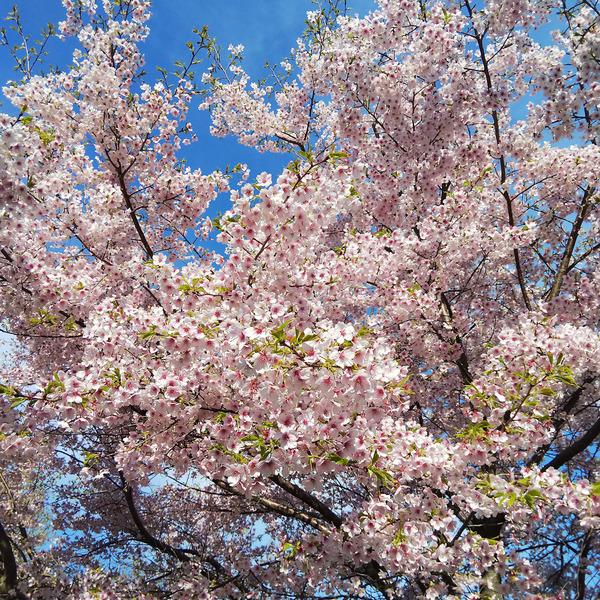 香貫山の桜201903-2