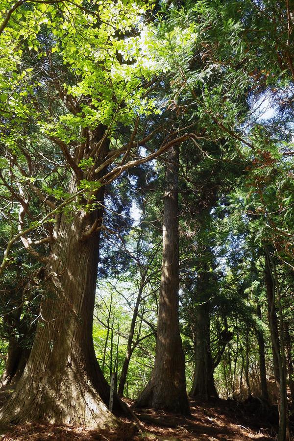 黒岳の自然杉