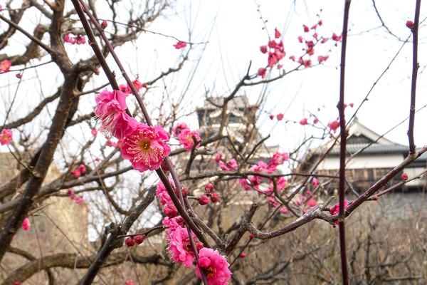 熊本城の梅園