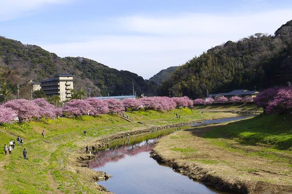 南伊豆町の河津桜2016