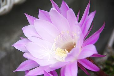 サボテンの花2012-1