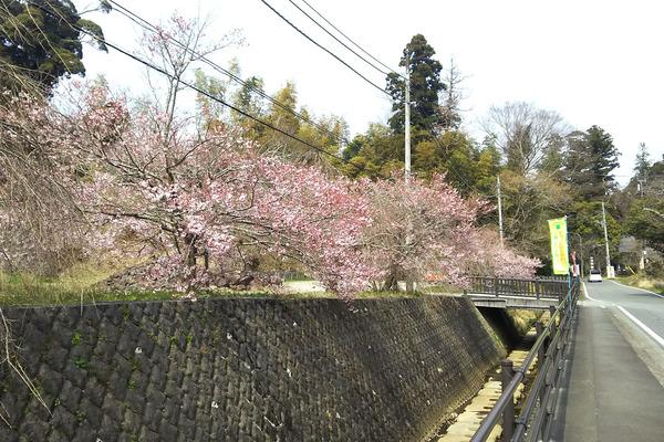 玉澤の桜2017-2