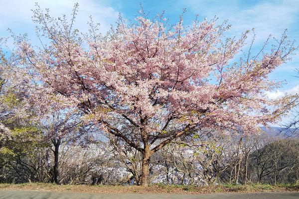 香貫山の桜201903-1